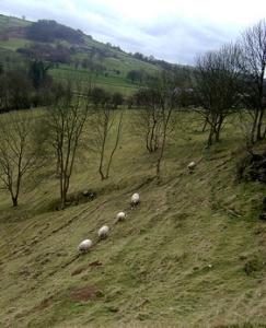 sheep-line